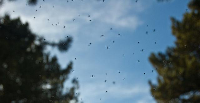 Gnats, oh gnats