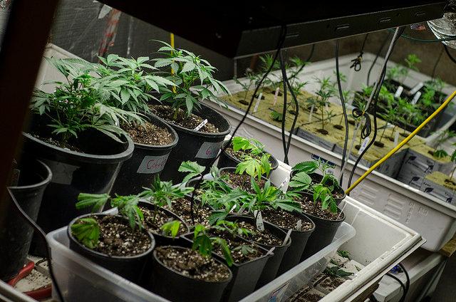 A legal marijuana grow operation in Denver, Colorado. -- photo by Brett Levin