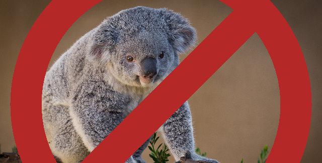 Koalas? No thanks