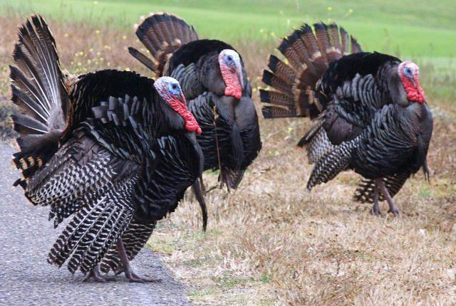 Turkey Jerks
