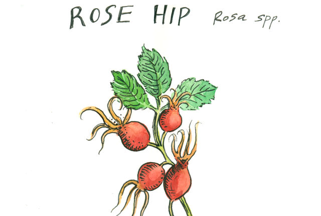 """Rosehip"" by Frances Cannon"