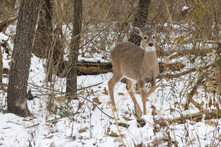 Five Iowa City parks will close early as sharpshooters start next phase of deer cull